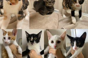 個人で保護活動をする方の相談を受け、福島の保健所より7匹の子猫を引き出してきました。<br>どの子も人懐こい美猫さん。<br>新しい家族を募集いたします。